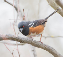 Evil Eyes. (Omygodtom) Tags: wildlife bird spottedtowhee natural red eye portrait nikon70300mmvrlens nature branch forest trail path usgs d7100 dof bokeh