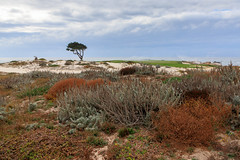 Golf Course Rough (Robert F. Carter) Tags: 17miledrive montereypeninsula pebblebeach golf golfcourse golfcourses rough greens pacificocean ocean oceans landscape landscapes seascape seascapes