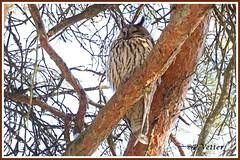 Hibou moyen duc 200121-03-P (paul.vetter) Tags: oiseau faune avifaune valais animal asiootus longearedowl búhochico bufopequeno waldohreule hiboumoyenduc strigidés