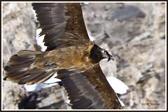 Gypaète Juv 200122-10-P (paul.vetter) Tags: oiseau rapace gypaète barbu gypaetus barbatus