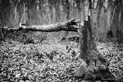 Fracture (patoche21) Tags: arbre bourgogne bourgognefranchecomte cotedor chevignystsauveur dxo europe flore france monochrome nature paysage plante ambiance forêt nb noiretblanc patrickbouchenard bw blackandwhite forest tree wood winter burgundy landscape
