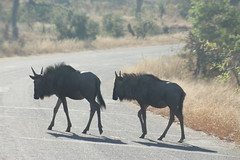 Wildebeest Crossing (Rckr88) Tags: wildebeest crossing wildebeestcrossing wildebeests krugernationalpark southafrica kruger national park south africa road roads animals animal nature naturalworld outdoors travel travelling