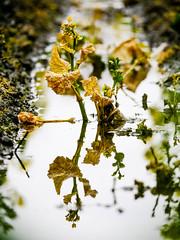 ナノハナ (t*tomorrow) Tags: panasonic lumix gx8 100400mm 菜の花 reflections
