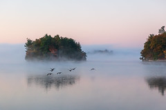 Geese in Flight and Morning Fog (Duncan Rawlinson - Duncan.co) Tags: 1000islands 1000islandsfall 1h6ndjhhzlbngxqaau595i5cv9ybdvwpz4 5dsr animal autumn canada canon canoneos5dsr duncanrawlinson duncanrawlinsonphoto duncanrawlinsonphotography duncanco fall fall1000islandsontariocanada fall2019 fall20191000islandsontariocanada flight foggy geeseinflightandmorningfog green landscape lifeontheriver morning ontario pastel photobyduncanrawlinson shotwithcanoneos5dsr stlawrenceriver sunrise thousandislands wild wildlife animals avian background beautiful bird birds canadageese cold fallcolor fallthousandislands final flock fly flying fog freedom geese goose groupofanimals httpsduncanco httpsduncancogeeseinflightandmorningfog insect lake migration mist natural nature outdoor reflection river silhouette sky smallisland water wings leedsandthethousandislands