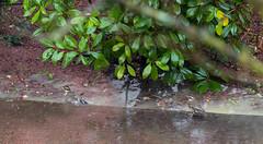 Grive mauvis (jeanjoachim31bis) Tags: grivemauvis turdusiliacus redwing passeriformes turdidae rotdrossel oiseau bird vogel aves uccello fågel fugl pássaro バード lintu птица ptak pentaxk5iis smcpentaxda300mmf4edifsdm