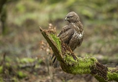 Common Buzzard (Steven Mcgrath (Glesgastef)) Tags: common buzzard hawk raptor woodland hide bird glasgow north scotland uk