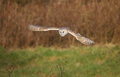Eagland Owl... (Caleb4Ever) Tags: owl owlinflight barnowl barnowlinflight raptor bop birdofprey birdinflight nature wildlife outdoors pilling lancashire eaglandhill