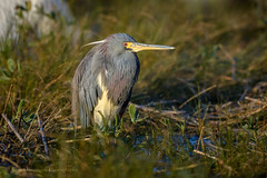 Tricolored Heron (Kevin James54) Tags: egrettatricolor kevingiannini nikon500mmpff56 nikond850 tricoloredheron wilmington animals avian bird birds fortfisher heron kevingianniniphotocom