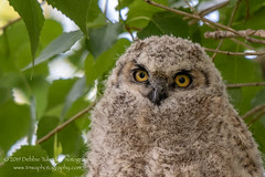The Heartbreaker (TNWA Photography (Debbie Tubridy)) Tags: colorado owl greathornedowl owlet youngowl wild tree bird nature outdoors natural fuzzy wildlife learning environment perched habitat birdofprey branched