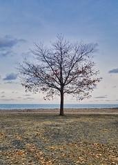 Tree-nacious (KWPashuk (Thanks for >3M views)) Tags: samsung galaxy s8 s8plus kwpashuk lightroom luminar luminar4 kevinpashuk tree leaves winter lake park coronationpark oakville ontario canada onetree solitary