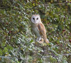 Barn Owl (KHR Images) Tags: barnowl barn owl tytoalba wild bird birdofprey perched hedgerow hawthorn cambridgeshire fens wildlife nature nikon d500 kevinrobson khrimages