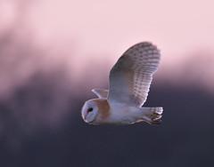 Sunset Barn Owl (KHR Images) Tags: barnowl barn owl tytoalba wild bird birdofprey hunting flying sunset cambridgeshire fens pink sky wildlife nature nikon d500 kevinrobson khrimages