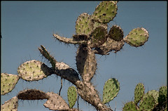 701 (konophotography) Tags: konophotography konophoto cactus film analog analogue nature filmisnotdead filmphotography buyfilmnotmegapixels ishootfilm 2017 expired india