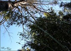 Towering... (angelakanner) Tags: canon70d tamron18400 bamboo backyard invasive