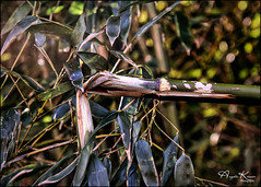 Snap... (angelakanner) Tags: canon70d tamron18400 bamboo backyard invasive