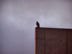 The Sentinel II (Bob_Wall) Tags: bobwall btwgf hawk falcon nature bird salk sentinel overlook guard looking