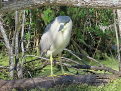 Black-crowned Night Heron (Nycticorx nycticorax) (Gerald (Wayne) Prout) Tags: blackcrownednightheron nycticorxnycticorax animalia chordata aves pelecaniformes ardeidae nycticorx nycticorax birds blackcrowned heron bird wadingbirds animal animals fauna wildlife nature alligatoralleytrail circlebbarreserve cityoflakeland polkcounty florida usa prout geraldwayneprout canon canonpowershotsx60hs powershot sx60 hs digital bridge camera photographed photography circleb bar reserve conservation preservation alligator alley trail city lakeland polk county stateofflorida