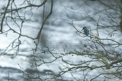 The Watcher (jillyspoon) Tags: kingfisher bird river water tree braches branches twigs any sony sonya7iii sonyalpha rivernidd winter winterlight northyorkshire
