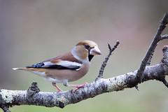 Grosbec casse noyaux (Michel Idre - 9 millions de vues merci) Tags: oiseau bird aves tarn grosbeccassenoyaux