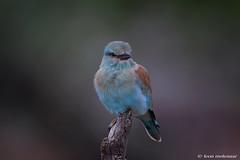European Roller (leendert3) Tags: leonmolenaar southafrica krugernationalpark wildlife wildanimal wilderness nature naturereserve naturalhabitat bird europeanroller coth5