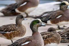 American wigeons on the pond bank (Stephen G Nelson) Tags: bird duck wigeon pond park aquatic tucson arizona