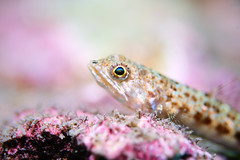 A Lizardfish with Two Spots on Snout (Gomen S) Tags: wildlife animal nature fish macro hongkong hk china asia tropical 2019 underwater afternoon ocean d500 60mmmicro nikon