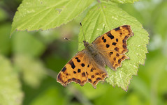 Polygonia c-album. (Bob Eade) Tags: butterflies comma polygoniacalbum summer sussex eastsussex southdownsnationalpark scrub nymphalidae butterfly nature wildlife seaford downland