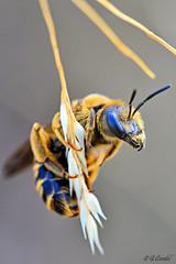 Halictus sexcinctus (g.cordel) Tags: macro abeille bee insecte insect halictus nikon worldsbestnikonshot