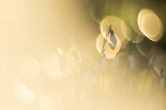 ANGENIEUX-75 (florence.richerataux) Tags: angenieux75 macro m42 vintage lens optical fuji xt1 bokeh nature bulles bubbles objectif ancien jardin extérieur fleurs insectes plantes botanic florence richerataux pdf dof couleurs printemps été automne hiver spring summer autumn winter bois forêt wood forest lumière naturelle saison perceneige