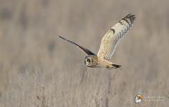 Short-Eared Owl (Simon Stobart) Tags: shorteared owl asio flammeus flying north east england uk