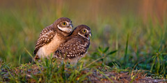 Hey!  We're kinda hungry......... (craig goettsch) Tags: burrowingowls capecoral owlet owl bird raptor avian nature wildlife animal nikon d850