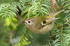 Goldcrest (robin elliott photography) Tags: goldcrest bird birds smallbirds crest gold yellow green yewtree outdoors outside feathers nikon nikond850 nikon500mmpf nature wild winter