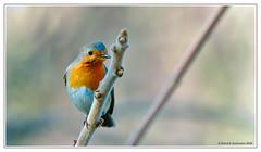 Rouge gorge (Patabois) Tags: passereau oiseau rouge gorge