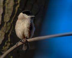 Bird with blue (hardy-gjK) Tags: bird vogel oiseau blue blau b bleu wildlife natur nature hardy nikon ast branche branch animal tier