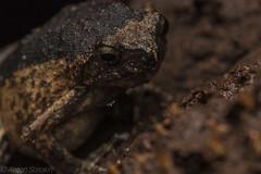Engystomops (antonsrkn) Tags: engystomopspetersi petersdwarffrog frog amphibiam ecuador yasuni herping herp herpetology
