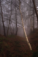 Silver and Gold... (vincocamm) Tags: cumbria beaconedge cowraik edenvalley tree woods forest mist misty fog foggy treescape silverbirch nikon d7500 january