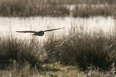 Short Eared Owl-9325 (WendyCoops224) Tags: 100400mmlmk2 80d fens canon eos ©wendycooper short eared owl