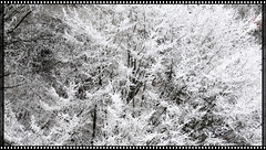 ice on trees black and White edition - hard Crop 16:9 - hoarfrost - Raufrost - Raureif - Sigma 17-50mm aka 80 mm crop (eagle1effi) Tags: canon7dmarki canon eos 7d canoneos7d eos7d dslr eagle1effi 7dbest hoarfrost raufrost raureif excellent photo 2020 canon7d