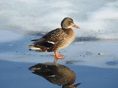 Mallard (pamfromcalgary) Tags: bird nature ornithology inglewoodbirdsanctuary pamhawkes calgary waterfowl mallard
