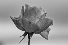 rosa bn (luporosso) Tags: natura nature naturaleza naturalmente nikon nikond500 nikonitalia rosa fiori fiore flowers fleur flor flores bianconero biancoenero bn bnw bw blackandwhite blackwhite blancoynegro abigfave