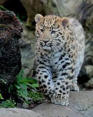 Amur Leopard Cub (Buggers1962) Tags: leopardcub leopard amurleopard amurleopardcub bigcat colchesterzoo canon canon7d