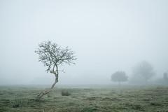 (koeb) Tags: haselünne haselünner kuhweide baum tree fog mist naturschutzgebiet