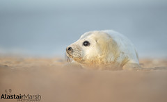 Seal Pup (Alastair Marsh Photography) Tags: seal sea seals greyseal greyseals greysealpup greysealpups beach coastline coast britishcoast britishcoastline animal animals animalsintheirlandscape wildlife winter sand mammal mammals mammalsociety baby babymammal babyanimal babyanimals britishwildlife britishanimals britishanimal britishmammals britishmammal