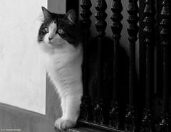 Soy el gato más guapo de mi pueblo. (Caty V. mazarias antoranz) Tags: burguillosdelcerro gato cat ojazos bigotes patas rabo piel limpio aseado doméstico gordo alimentado spain españa badajoz extremadura paz tranquilidad castillo arte pueblosdeespaña ventanas vecindario vecinos compatriotas campestre solidario ocasional ineficientes acosadores fantasmas