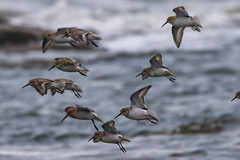 Dunlin (Dougie Edmond) Tags: bird nature scotland unitedkingdom wildlife wader southayrshire