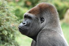Gorilla - Zoo Amneville (Mandenno photography) Tags: animal animals dierenpark dierentuin dieren zoo zooamneville african france frankrijk ngc nature natgeo natgeographic discovery bbcearth bbc