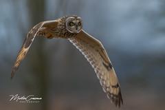 Short Eared Owl (martin crossman) Tags: seo short eared owl nikon wildlife