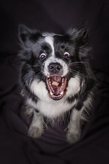 Raksa (czypek) Tags: dog border collie animal majestic nature pet cute portrait mammal background move domestic purebred fast forest eat canine puppy fur silly adorable awesome nostalgic isolated