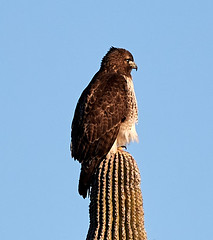 Jan 23 - 27 of 112 (Verde River) Tags: hotairballoons landscape landscapes bird birds phainopepla woodpecker thrush cactuswren cactus kieslingfalcon gambelsquail deer muledeer nature
