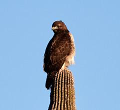 Jan 23 - 21 of 112 (Verde River) Tags: hotairballoons landscape landscapes bird birds phainopepla woodpecker thrush cactuswren cactus kieslingfalcon gambelsquail deer muledeer nature